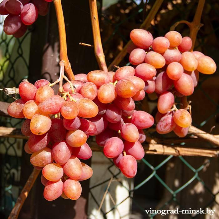 Алладин виноград, купить черенки и саженцы сорта Алладин в Минске