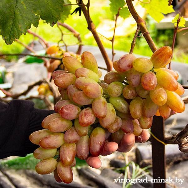 Юлиан виноград, купить черенки и саженцы сорта Юлиан в Минске