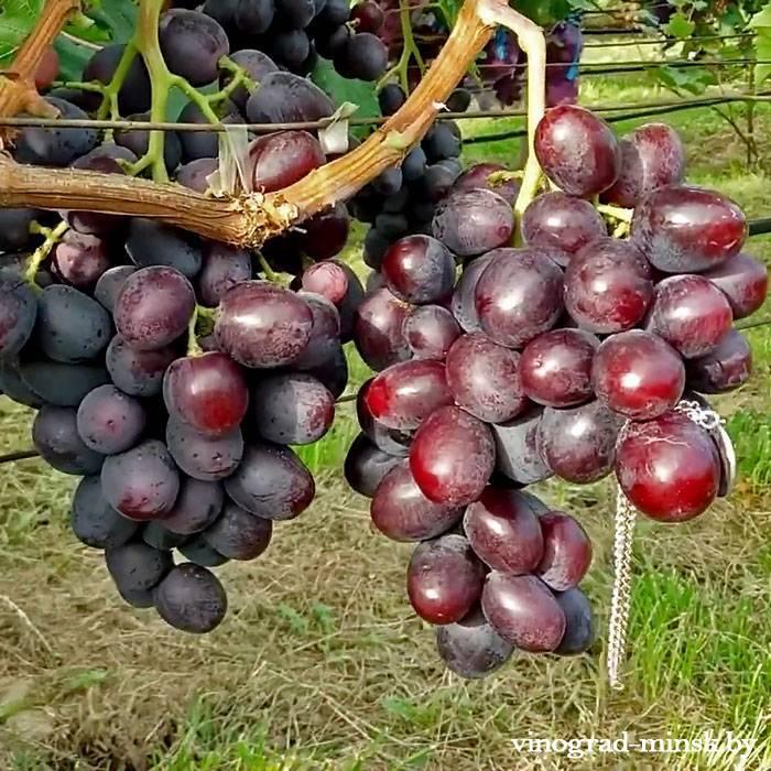 Эверест виноград, купить черенки и саженцы сорта Эверест в Минске