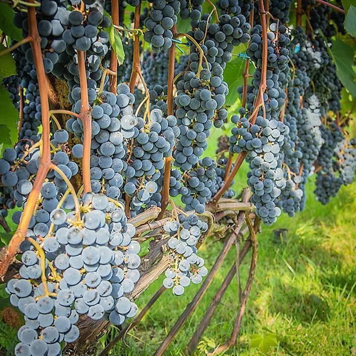 Зилга виноград, купить черенки и саженцы сорта Зилга в Минске