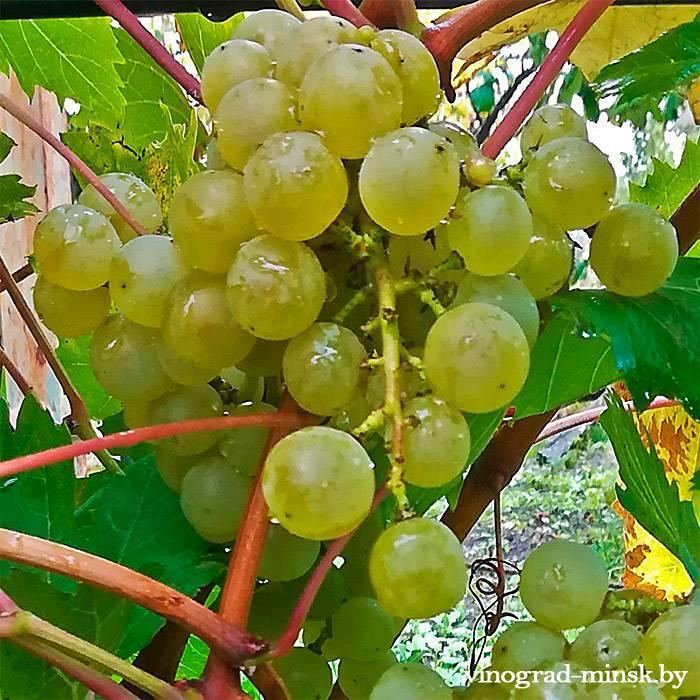 89-3 виноград, купить черенки и саженцы сорта 89-3 в Минске