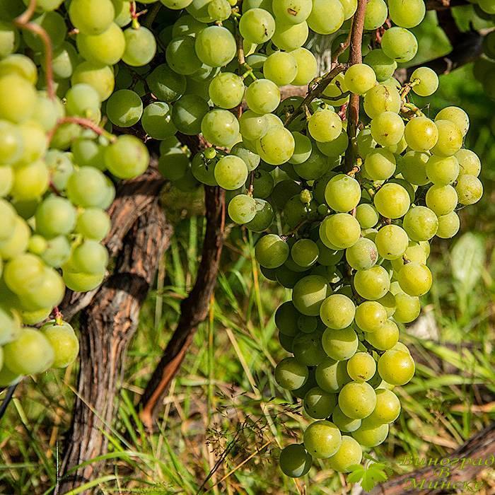 Супага виноград, купить черенки и саженцы сорта Супага в Минске